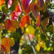 نمایی زیبا از گلابی های پاییزی و رنگ های زیبای برگ درختان سردشت
