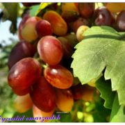سروشتی سەردەشت – انگور