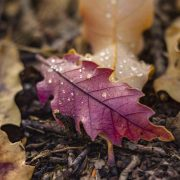 برگ های پاییزی و قطرات باران