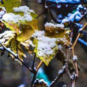 برف بر روی برگ های انگور سیاه