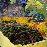 باغ انگور سیاه قەڵارەش – قلعه رش