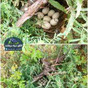 لانه سازی کبک زیر درخت انگور روستای بێوران – بیوران سفلی