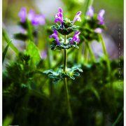 گل های بهاری دشت گورانگان